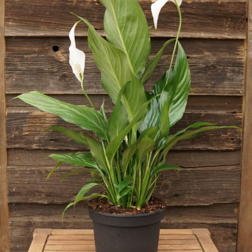 Peace Lily Overview