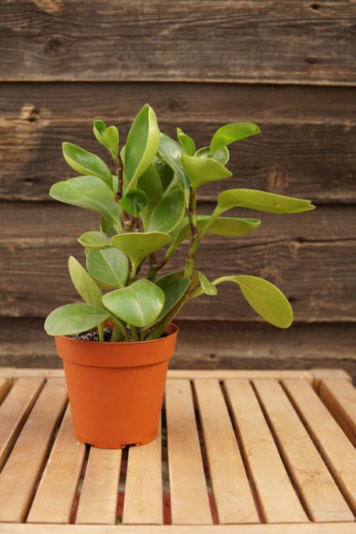 Peperomia Overview