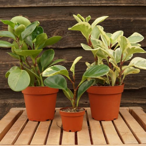 peperomia trio overview