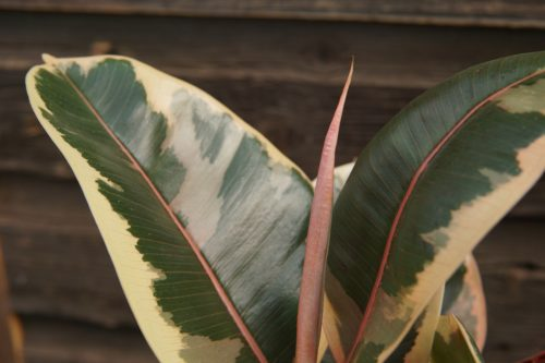 Rubber Plant variegated close up