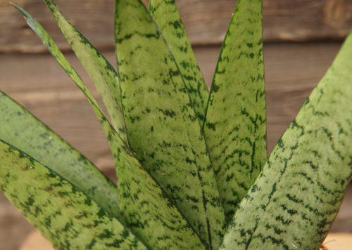 snake plant fan close up