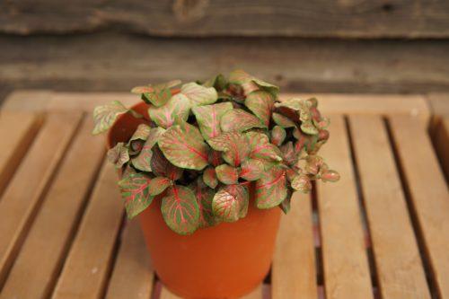 Fittonia pink close