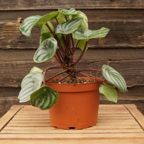 Watermelon Peperomia Overview