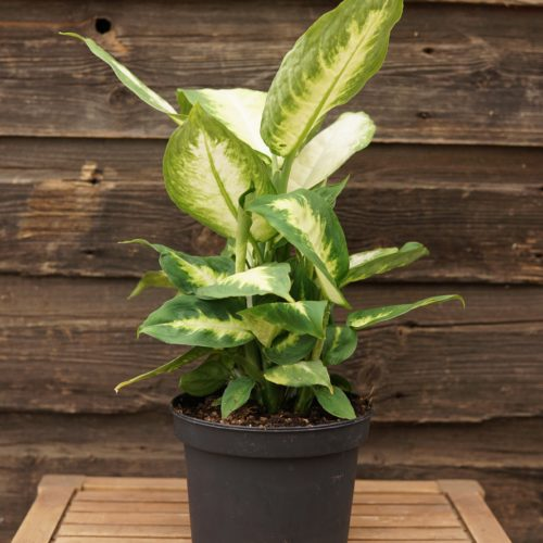 Dieffenbachia broad leaf overview