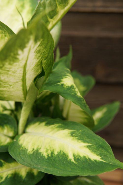 Dieffenbachia broad leaf close up