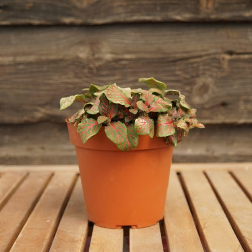 fittonia pink overview