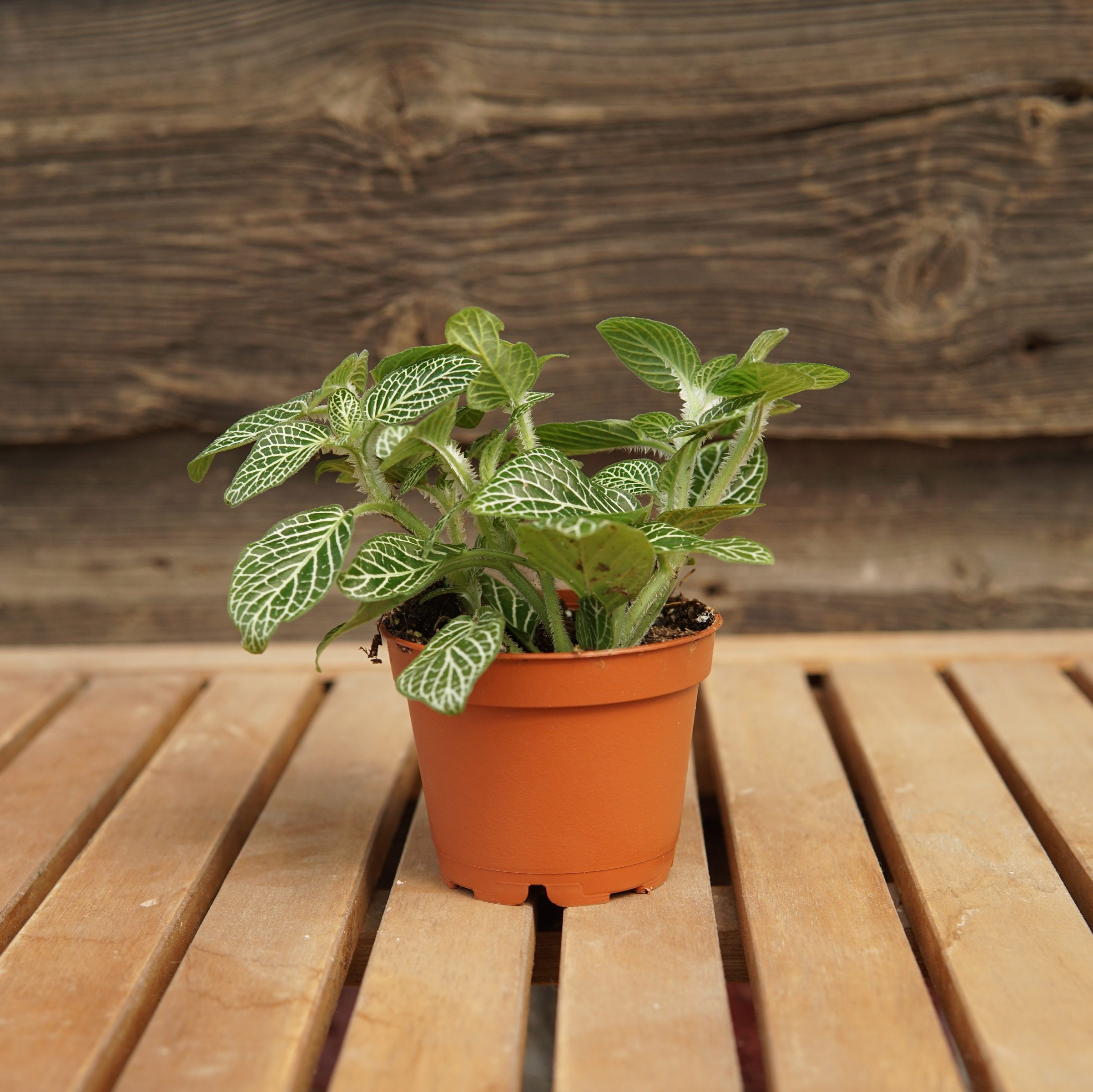 fittonia white overview