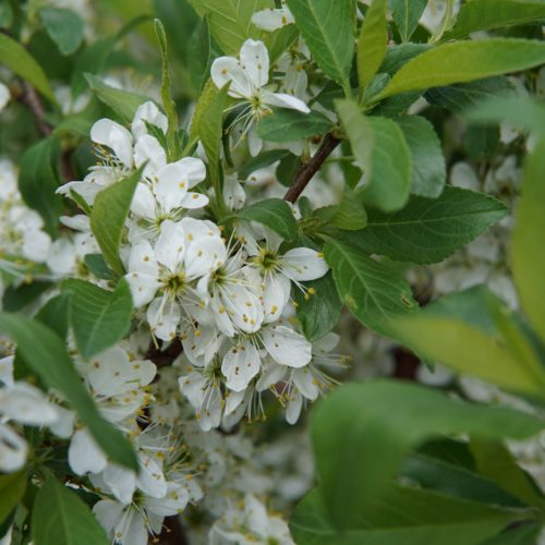Compass Cherry Plum Blossom
