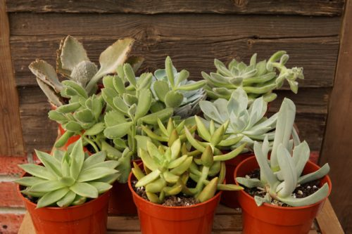 Succulents variety