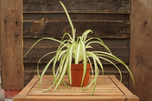 Spider Plant Overview