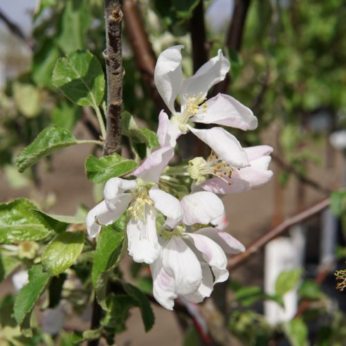Harcourt Apple Flower Close Up