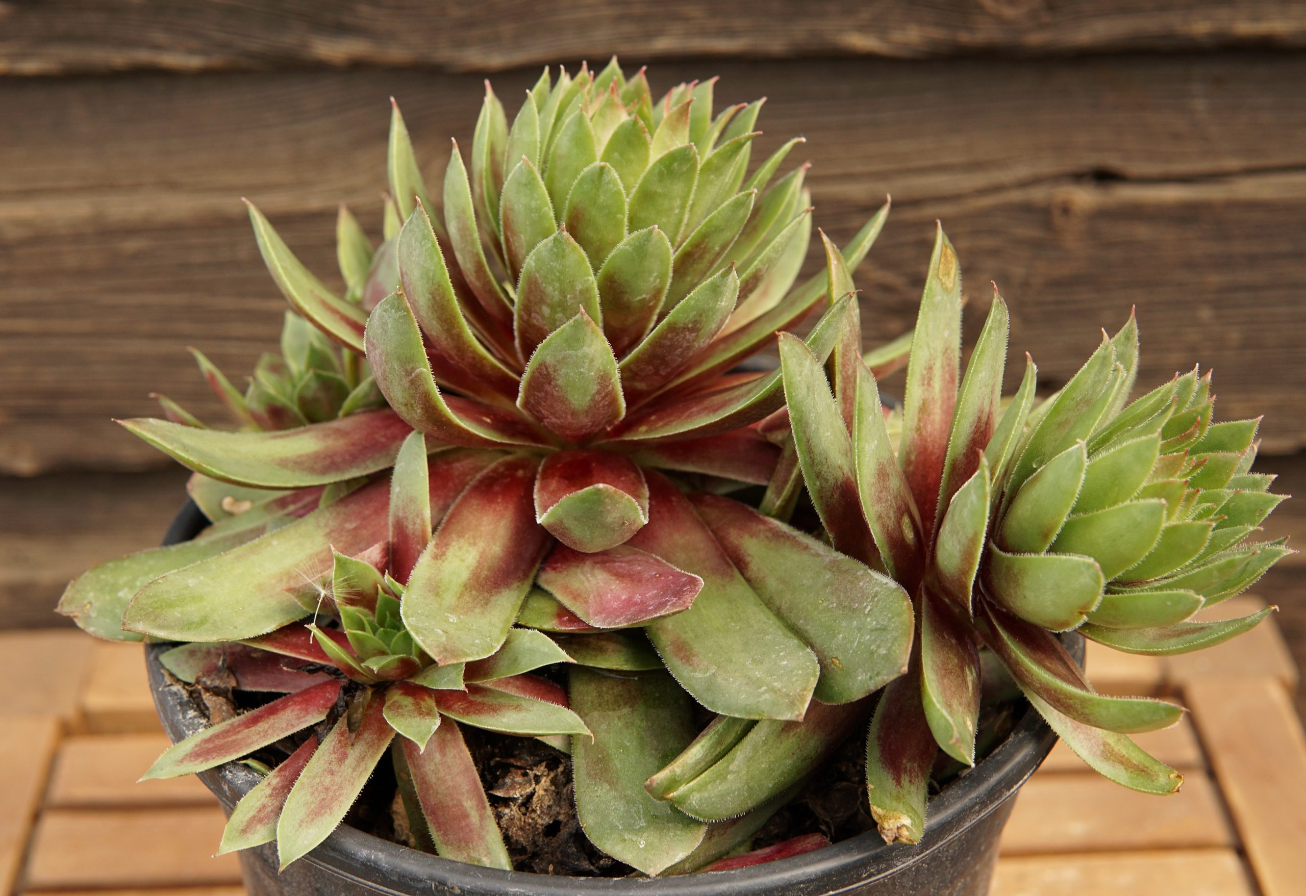 Ruby Hen and Chicks close up