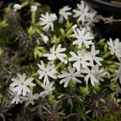 Snowflake Creeping Phlox Bloom