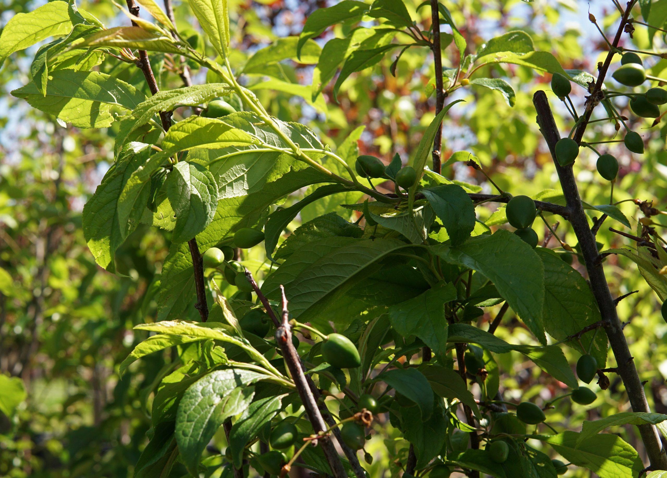 Waneta Plum Leaf Close Up