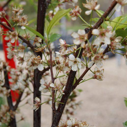 Waneta Plum Flower Close Up