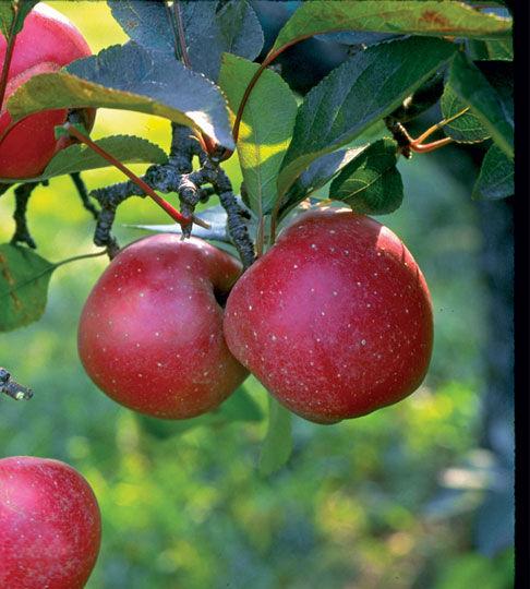 Harcourt Apple Feature