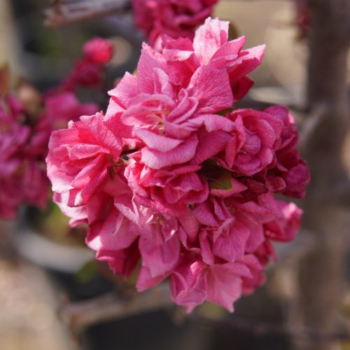 Kelsey Crabapple close up flowers