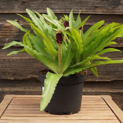 Aloha Lily