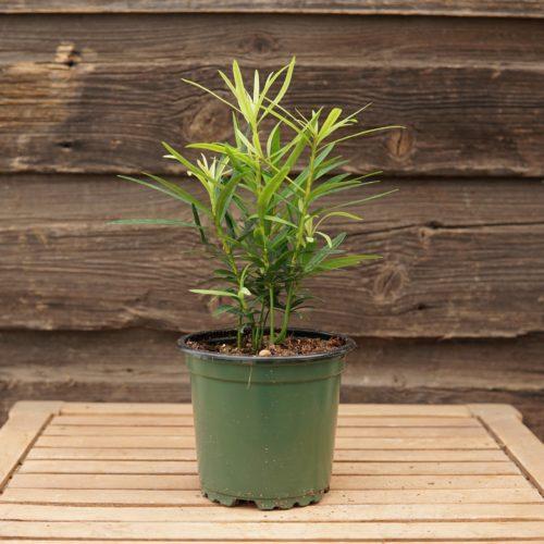 Buddhist Pine overview