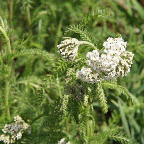 Common Yarrow bloom