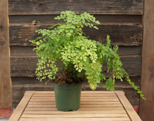 Maidenhair fern overview