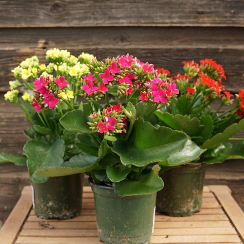 Kalanchoe trio overview