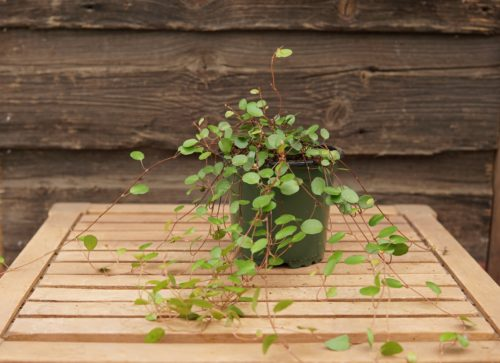 Maidenhair Vine overview