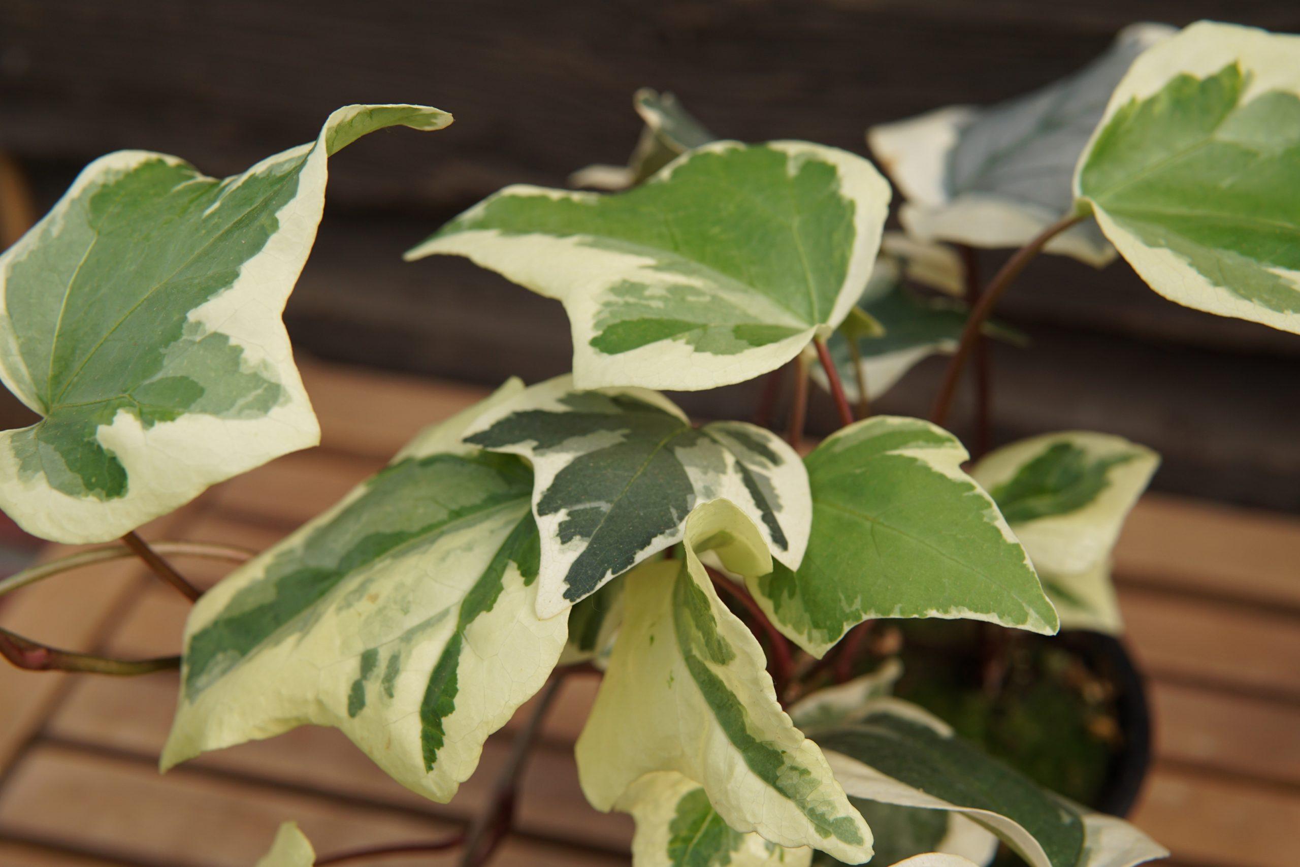 Marengo Ivy closeup