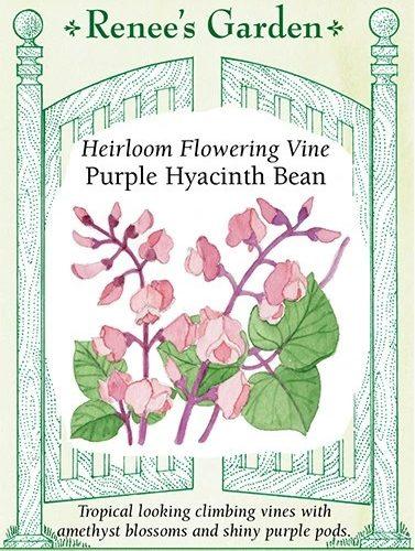 Heirloom Flowering Vine Purple Hyacinth Bean